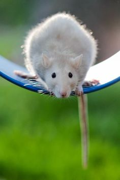 Swinging Rat Photo by Meg Kumin -- National Geographic Your Shot