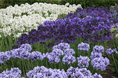 For next year's gardens; Agapanthus. They come in some great colours..blue, lavender, purple, white......