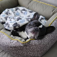 """""""...but WHY can't you go on a walk without me?"""", sleepy French Bulldog"""
