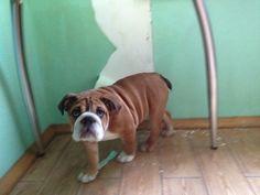 It was not me! #bulldog
