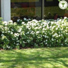 mexican orange blossom - Choisya ternate as an informal hedge Hedging Plants, Landscaping Plants, Backyard Plants, Landscaping Ideas, Orange Plant, Garden Hedges, Blossom Garden, Sensory Garden, Gardens