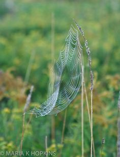 8 x 12 photograph Sunrise Cobweb in Field clinging by WhatISeeMH #fpoe