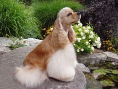 The American cocker spaniel is the smallest of the spaniel breed. Complete dog breed information about American cocker spaniel's temperament, care, health, and much more. Cocker Spaniel Haircut, Perro Cocker Spaniel, Black Cocker Spaniel, American Cocker Spaniel, English Cocker Spaniel, Pet Dogs, Dogs And Puppies, Dog Cat, Doggies