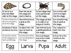Mealworm Life Cycle Sort Packet
