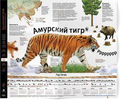 Календарь непростой жизни амурского тигра