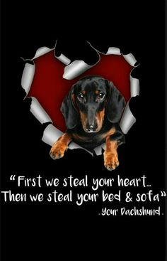 The Diverse Dachshund Breed - Champion Dogs Dachshund Breed, Dachshund Funny, Dachshund Art, Long Haired Dachshund, Daschund, Dachshund Quotes, I Love Dogs, Puppy Love, Best Apartment Dogs
