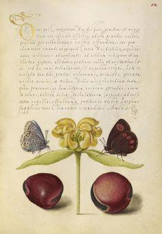 [folio 58r]Moths, Jerusalem Sage, and Beans; Joris Hoefnagel (illuminator) [Flemish / Hungarian, 1542 - 1600] and Georg Bocskay (scribe) [Hungarian, died 1575]