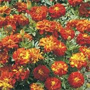 Tagetes patula 'Red Cherry' (French marigold 'Red Cherry') Click image to learn more, add to your lists and get care advice reminders  each month.