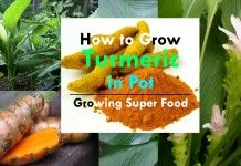 Growing Turmeric In Pots | How To Grow Turmeric, Care, Uses & Benefits