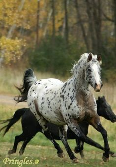 Appaloosa mare and foal                                                                                                                                                                                 Plus