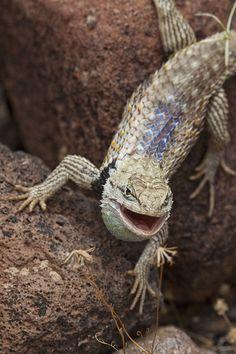 Purple-backed (Desert) Spiny Lizard--Sceloporus magister magister