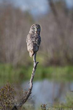 Great Gray Owl by wildlife #animals #animal #pet #pets #animales #animallovers #photooftheday #amazing #picoftheday