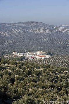 Campo de olivos de la variedad picual. Cortijo y almazara Aceites San Antonio. En ESCAÑUELA. Jaen. Andalucia. Spain