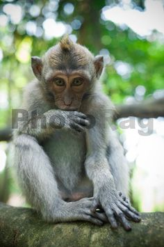 A monkey perches on a branch in Moneky forest, Bali | PhotoRag