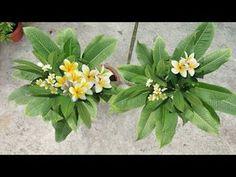 Plumeria Care, Plumeria Flowers, Jade Plants, Rangoli Designs, Vegetable Garden, Gardening Tips, Youtube, Crafts, Hacks
