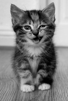 """Search Results for """"kitten wallpaper for android"""" – Adorable Wallpapers Wallpaper Gatos, Kitten Wallpaper, Iphone Wallpaper, Cute Cats And Kittens, Baby Cats, Kittens Cutest, Cute Little Animals, Cute Funny Animals, Funny Cats"""