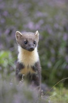 """June 4: """"There is nowhere better in Britain to see this notoriously reclusive mammal, in broad daylight and within touching distance."""" A Summer of British Wildlife; www.bradtguides.com #100dayswild"""