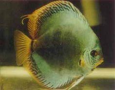 """""""Neon Turquoise Discus Fish"""" 2.25 inch - Mac's Discus"""