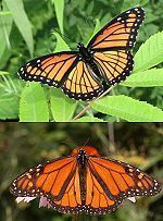 Viceroy butterfly - CreationWiki, the encyclopedia of creation science