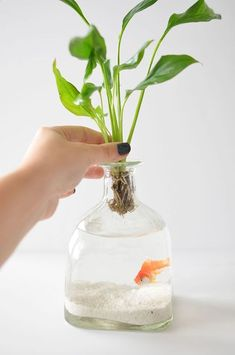 DIY: Patron Bottle Hanging Aquariums by Maddie Richardson maddierichardson. DOKO ( Joseph Donaghy Ideas for the House DIY: Patron Bottle Hanging Aquariums by Maddie Richardson Patron Bottle Crafts, Wine Bottle Crafts, Patron Bottles, Indoor Water Garden, Indoor Plants, Betta Fish Tank, Fish Tanks, Liquor Bottles, Glass Bottles