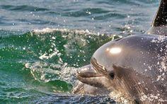 Golfinhos - Visite Setubal Na faixa costeira da região de Setúbal podemos frequentemente observar exemplares do roaz-corvineiro (Tursiops truncatus), considerado um dos ex-libris faunísticos da região.