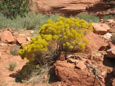 Rubber Rabbit brush, Ericameria nauseosa, grows in many of the western states. Green in the spring and summer. Blooms in fall with a lot of yellow flowers, Utah. Yellow Flowers, Wild Flowers, Rabbit Brush, Drought Tolerant Shrubs, Kanab Utah, Colorado Plateau, Great Basin, The Rock, Survival