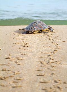 Iztuzu beach, Turkije: schildpadden