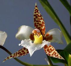 ORQUIDEAS MEXICANAS: Rhynchostele rossii = Cymbiglossum rossii