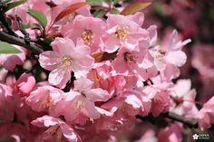 Japan kudasai ! Shinjuku Gyoen, Japan, Plants, Cherry Blossom, Flowers, Japanese Dishes, Plant, Planting, Planets