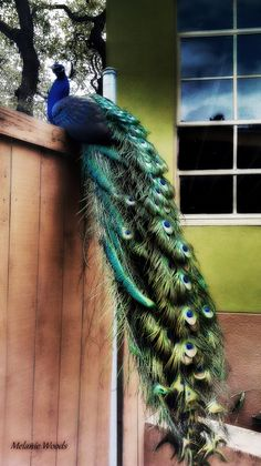 February    Peacocks- some say they are symbolic of glory,royalty, vision, spirituality, awakening, an emblem of love, refinement, incorruptibility. I see him as a creature of beauty that fills me with joy and happiness and captivates my very soul.-- M.Woods