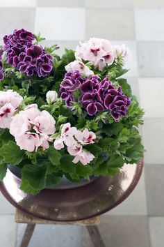 Use a mix of bold and pastel colours to create an eye catching display #RegalPelargonium