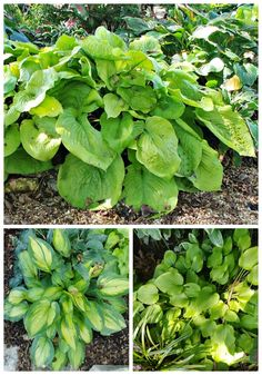 Hosta Gardens with many varieties can be found in the Springfield Botanical Gardens in Missouiri #botanicalgardens #hostas #perennials Daylily Garden, Early Spring Flowers, Hosta Plants, Hosta Gardens, Replant, Deciduous Trees, White Gardens, Companion Planting, Day Lilies