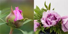Estas plantas vivaces se convierten en las campeonas indiscutibles del arriate en la tardía primavera.
