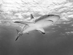 Black Tip Shark, Sharks, Whale, Ocean, Black And White, Beach, Black White, Whales, Shark