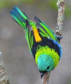 Tangara à tête verte