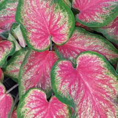 Proven Winners - Heart to Heart™ 'Tickle Me Pink' - Sun or Shade Caladium - Caladium hortulanum plant details, information and resources. Garden Design, Elephant Ear Plant, Plants, Shade Flowers, Tropical Plants, Pink Leaves, Live Plants, Elephant Ear Plant Indoor, Caladium