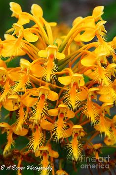 Orange Fringed Orchis Photograph