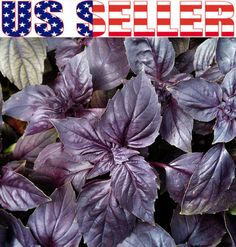 100 Organically Grown Opal A Fogia Violetta Dark Violet Basil Seeds Heirloom | eBay