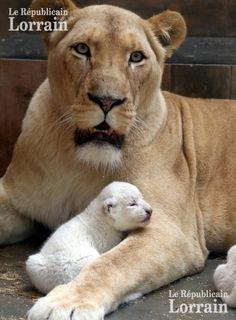 Le lion blanc vit en Afrique du Sud. Ils ne sont plus que neuf en milieu naturel. Leur poil blanc en faisant une cible de choix pour les chasseurs. « Une fondation lutte pour les sauver, avec des réintroductions », explique le directeur du zoo d'Amnéville, Michel Louis. Photo Maury GOLINI