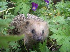hedgehog <3