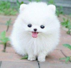 Pomeranian           FLUFFY!!!!!!!! OMG I TOTALLY NEED ONE........