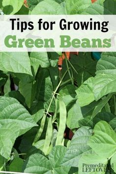 How to Grow Green Beans, including how to plant green bean seeds, how to…