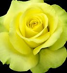 St. Patrick™ rose, yellow with a hint of green...I was told it the warmer it gets the green comes out...in my garden :)