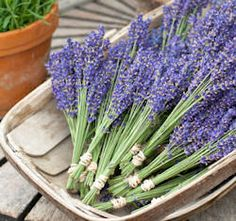 Growing your own lavender tips
