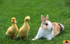 Ducks and Rabbit Wallpaper from Baby Farm Animals. Baby ducks meet a furry friend. One little guy looks like he is trying to figure out what the furry friend might be. Rabbit Wallpaper, Tier Wallpaper, Animal Wallpaper, Computer Wallpaper, Duck Pictures, Animal Pictures, Daily Pictures, Baby Farm Animals, Cute Animals