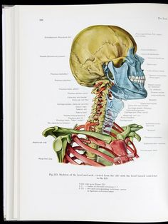 Atlas of Topographical and Applied Human Anatomy, Eduard Pernkopf.  #anatomy #medicaldiagram #skeleton