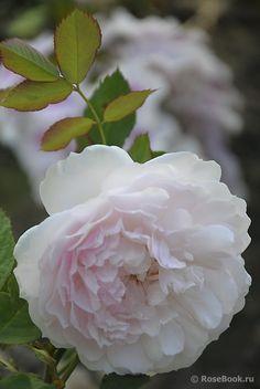 'Lady Salisbury' |  Shrub.  English Rose Collection. David C. H. Austin, 2011