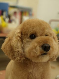"Toy poodle // the ""teddy bear"" clip"