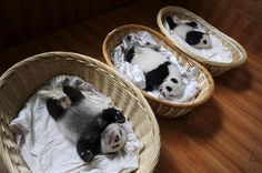 Giant panda cubs are seen inside baskets during their debut appearance to visitors at a giant panda breeding centre in Ya'an, Sichuan province, China, August 21, 2015.