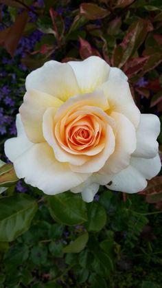 Rosa Antica del nostro giardino  Ferrari, Flowers, Plants, Pink, Plant, Royal Icing Flowers, Flower, Florals, Floral
